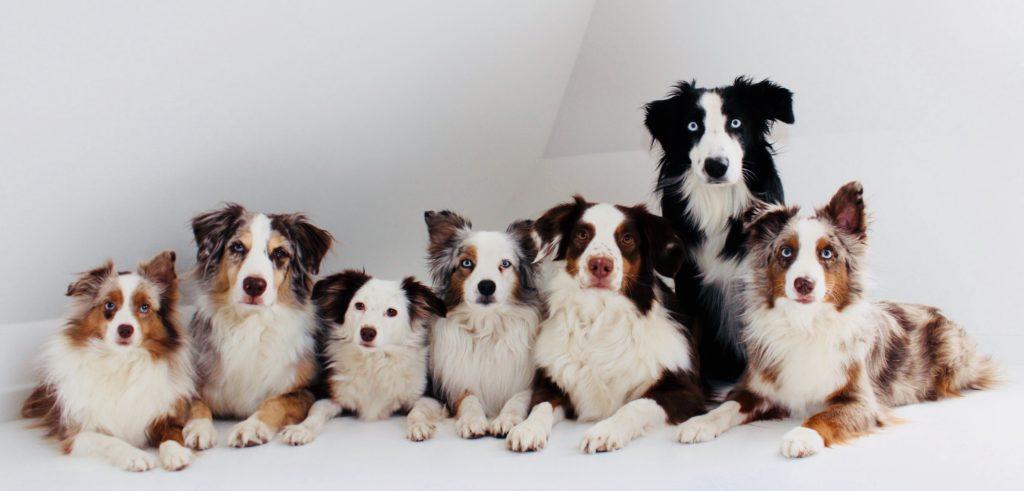 die sieben Australian Sheperd Therapiehunde